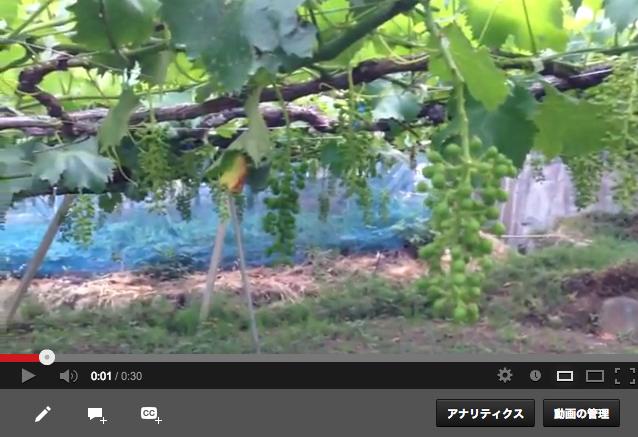 巨峰と紫玉の動画